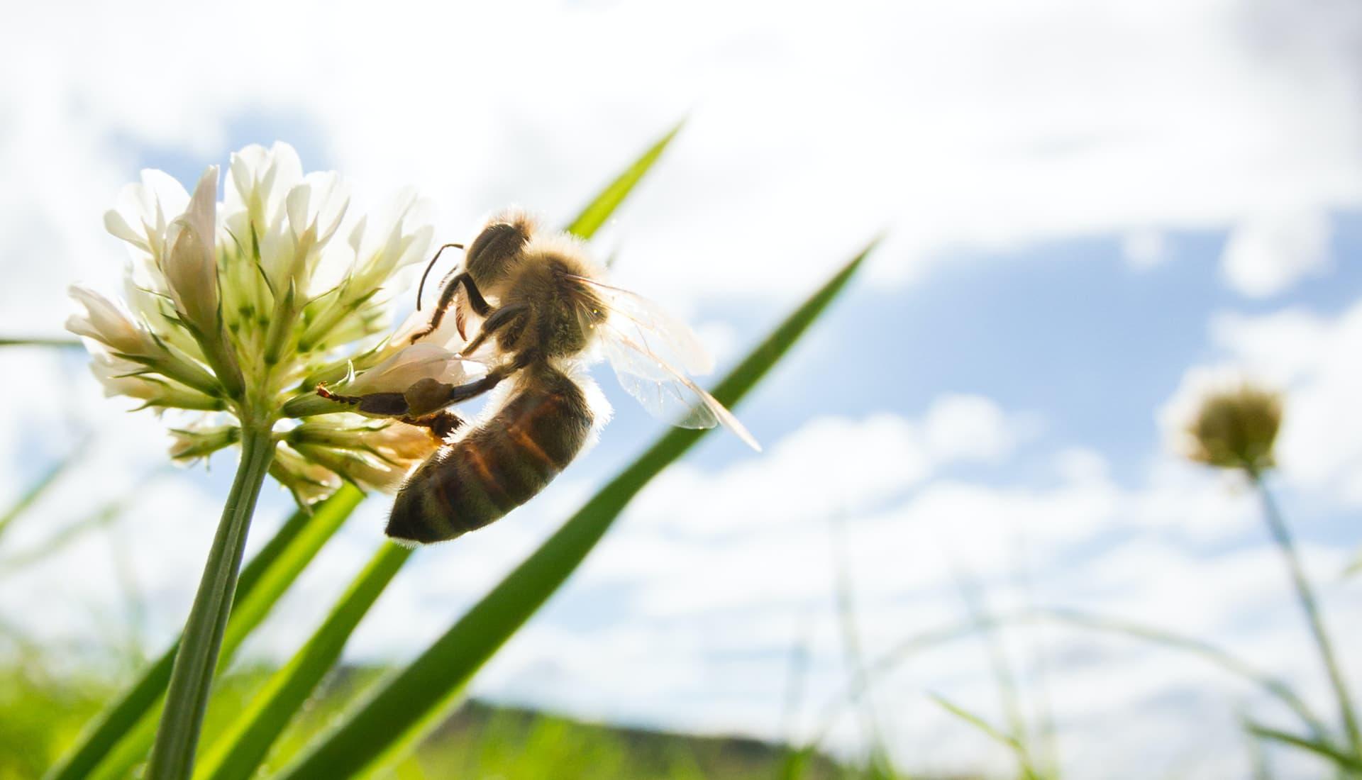 https://www.honeysource.com/wp-content/uploads/2021/05/bee-on-clover.jpg
